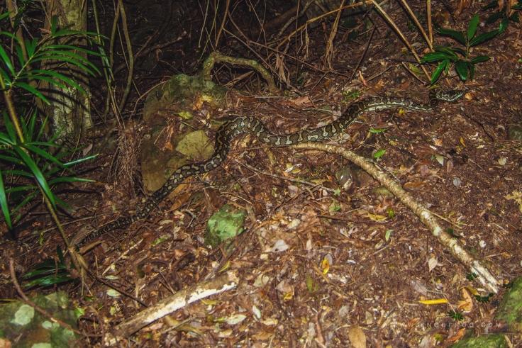 DSC_1579_serpent_australie_springbrook