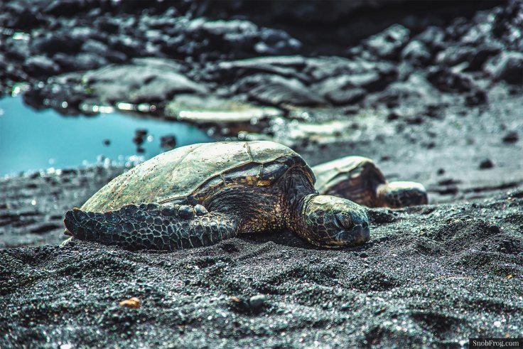 DSC_3089_hawaiian_turtle