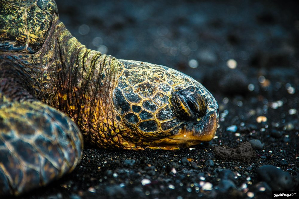 DSC_3096_hawaiian_turtle